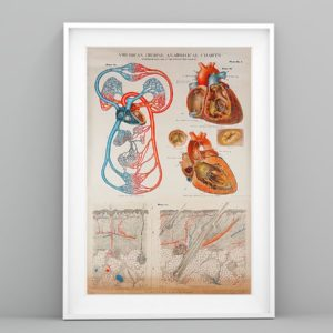 Human Heart Anatomical Cardiologist Poster, Canvas
